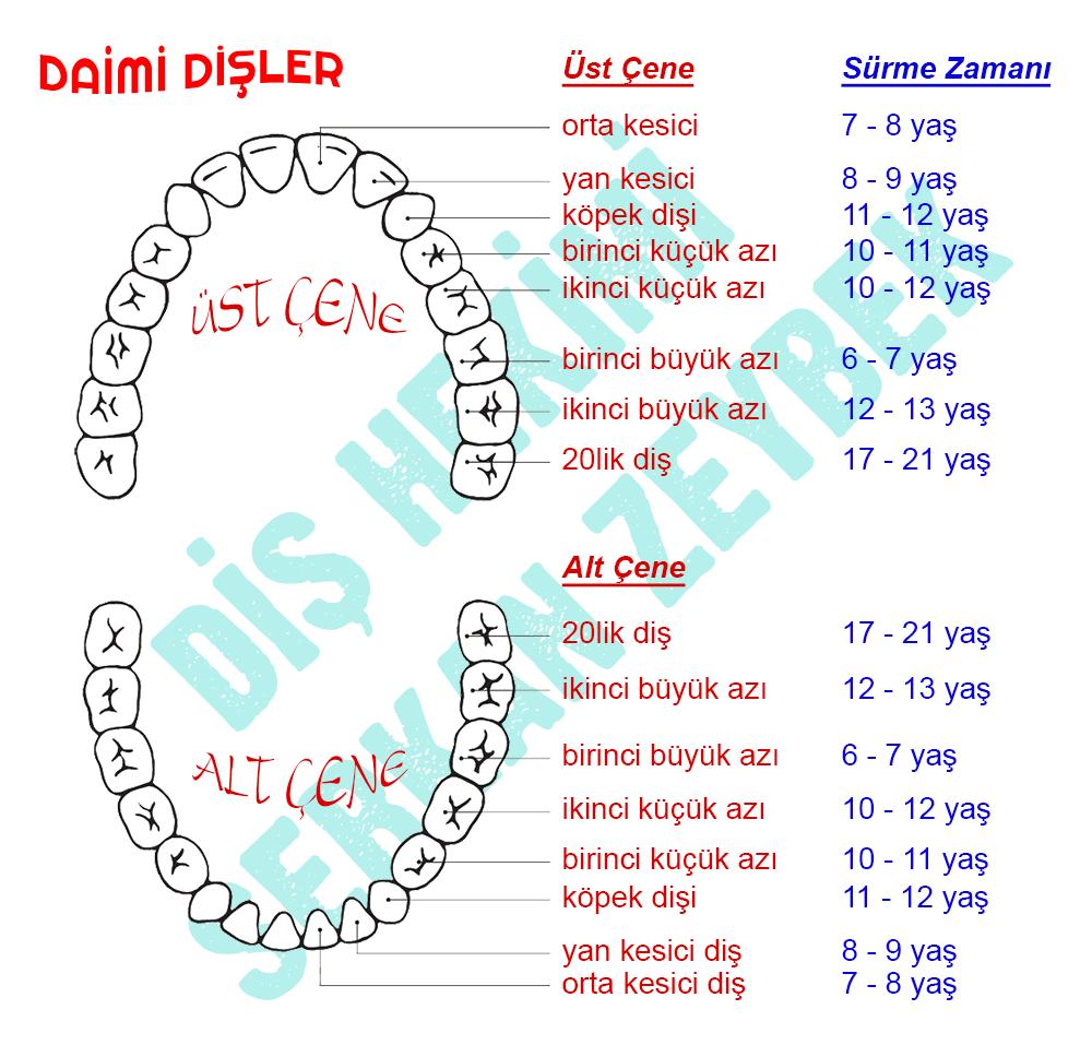 daimi kalıcı dişlerin sürme zamanları diş hekimi serkan zeybek denizli implant ortodonti estetik diş